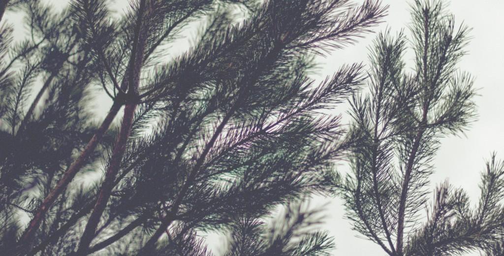 pinetreephoto